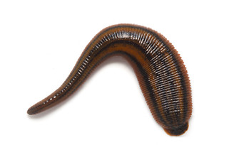 Tiger Leech (Richardsonianus australis)
