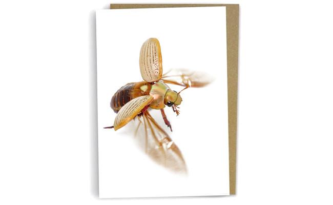 Christmas Beetle in flight by Alan Henderson (Minibeast Wildlife)