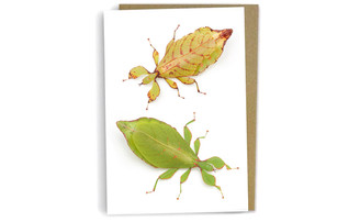 Australian Leaf Insects by Alan Henderson (Minibeast Wildlife)
