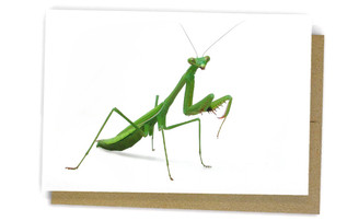 Praying Mantid by Alan Henderson (Minibeast Wildlife)