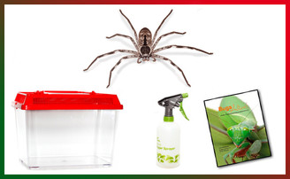 Banded Huntsman Spider Christmas Kit - save 10%