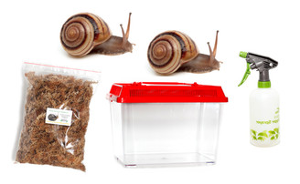 Pale Banded Snail (Figuladra mattea) Kit