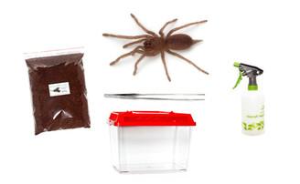 Australian Tarantula Starter Kit (Phlogius species)