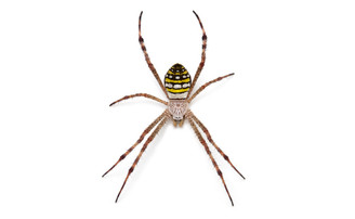 Painted St Andrew's Cross Spider (Argiope picta)