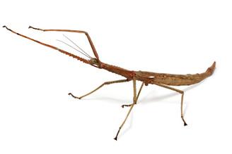 Wuelfing's Stick Insect (Acrophylla wuelfingi) - Female