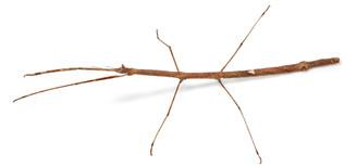 Living Twig adult female