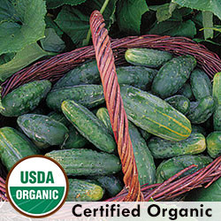 Bushy Cucumber Organic Seeds - Seed Savers Exchange | Amish Country Store in Branson, Missouri