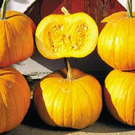 Cornfield Pumpkin Squash