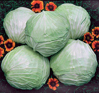 Premium Late Flat Dutch Cabbage