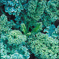 Dwarf Blue Scotch Kale  Organic