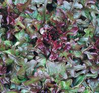 Bronze Arrowhead Lettuce