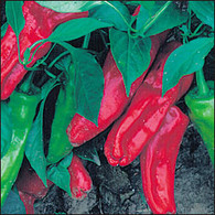 Marconi Red Pepper