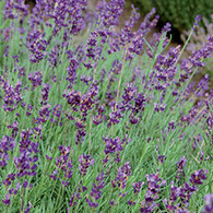 Hidcote Lavender Blue Organic Seeds - Seeds Savers Exchange | Amish Country Store in Branson, Missouri