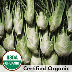 Fennel Florence Organic Seeds - Seeds Savers Exchange | Amish Country Store in Branson, Missouri