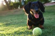 5 Cool Facts About Dachshunds (Doxies)!
