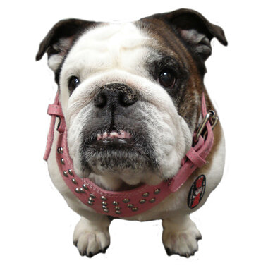 Top Dog Leather Studded Dog Harness