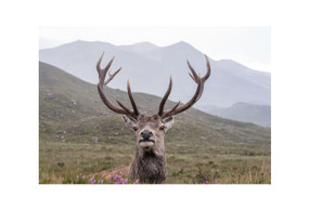 "Red Stag, Torridon - Mounted Print (8.3"" x 11.7"")"
