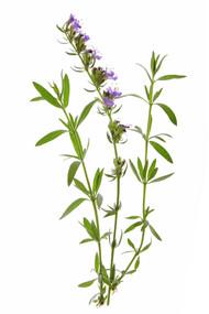 Hyssop, Hyssopus officinalis