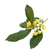 Bay Laurel, Laurus nobilis