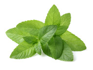 Peppermint, Mentha X piperita
