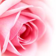 Rose Otto, Rosa X damascena