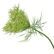 Carrot Seed, Daucus carota