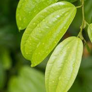 Cinnamon Leaf, Cinnamomum verum