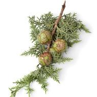 Cypress, Cupressus sempervirens