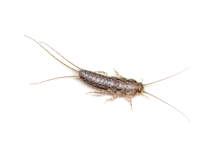 Silverfish Pest Control Products and Supplies