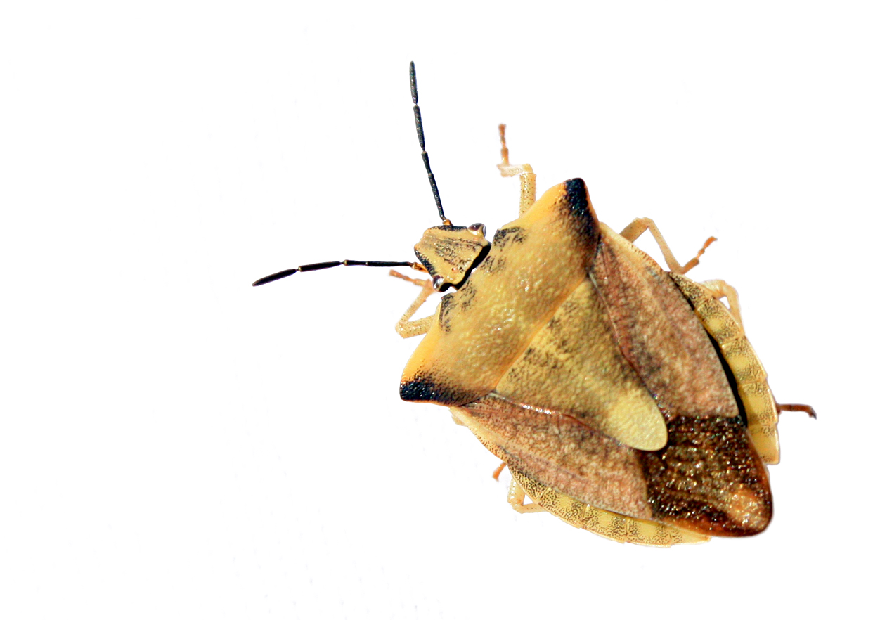 Stink Bugs Pest Control Products and Supplies