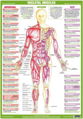 Skeletal Muscles Anterior