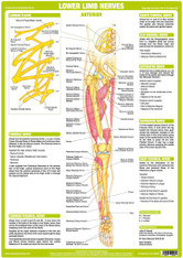 Lower Limb Nerves - Anterior View