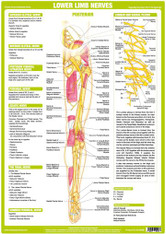 Lower Limb Nerves - Posterior View