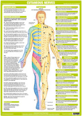 Cutaneous Nerves Anterior