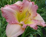 Pink Ambrosia