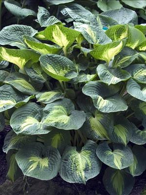 A mature clump of Hosta 'Dream Weaver' in early summer.