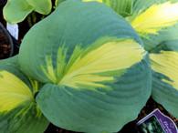 A beautiful Hosta 'Dream Weaver' leaf in early spring.