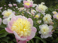 Peony 'Butter Bowl'