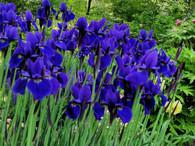 Iris sibirica 'Kamayama'