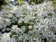 Paniculata produces copious amounts of sweetly fragrant flowers in late summer!