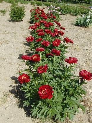 A row of P. 'Buckeye Belle' growing in our field.