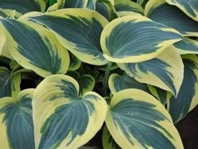 A clump of hosta 'Ben Vernooij' later in the growing season, its margins turning a soft creamy yellow.