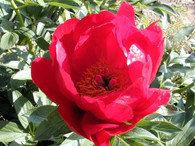 Peony 'Red Red Rose'