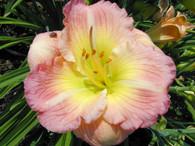 Siloam Apple Blossom