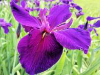 Iris 'Jeri'