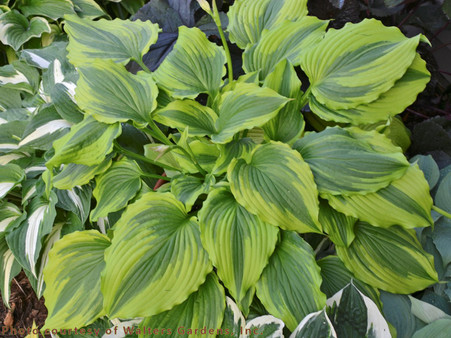 This image of hosta 'One Last Dance' shows the midsummer color, where the margins have soften to chartreuse.