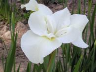 Iris sibirica 'Gull's Wing'
