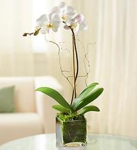 1 Stem White Phalaenopsis Orchid