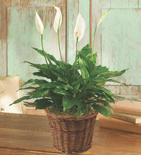 "PEACE LILY FLOOR PLANT 6""D"