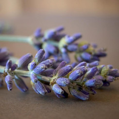 Pure Essential Oil - Lavender French